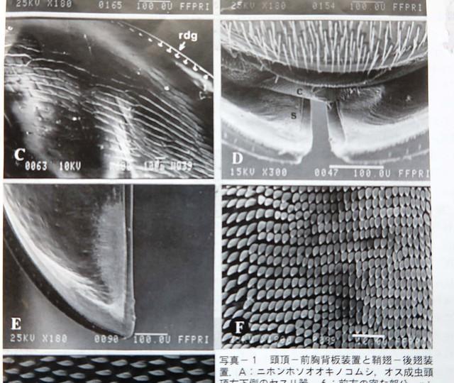 直翅目的昆蟲以摩擦前翅發聲,前翅的內側上有一排堅硬的微細突出物,就是所謂的音銼,而翅膀邊緣硬化的部份則為刮器