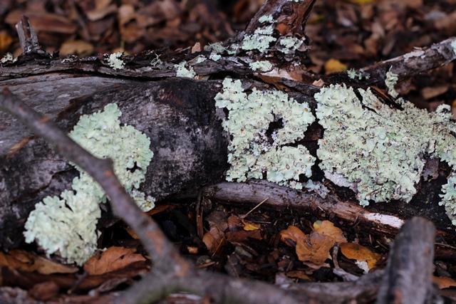 lichen on a damp log