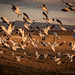 snowgeese1 by ranger442