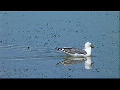 California gull - Mono Lake