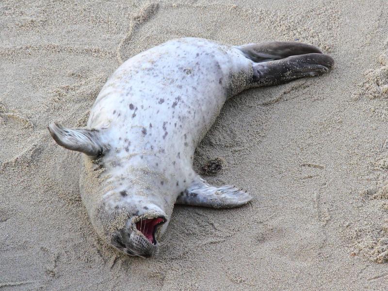 IMG_1375 Harbor Seal Pup Yawning