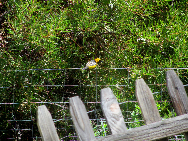 oriole on the garden fence