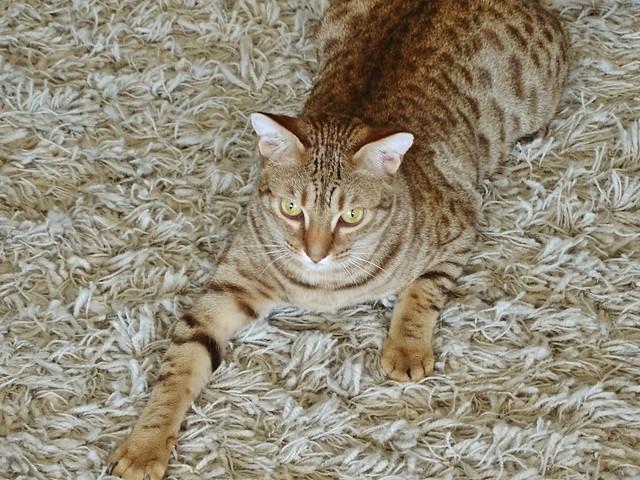Ocicat Traits Ocicat Cat Pictures an...
