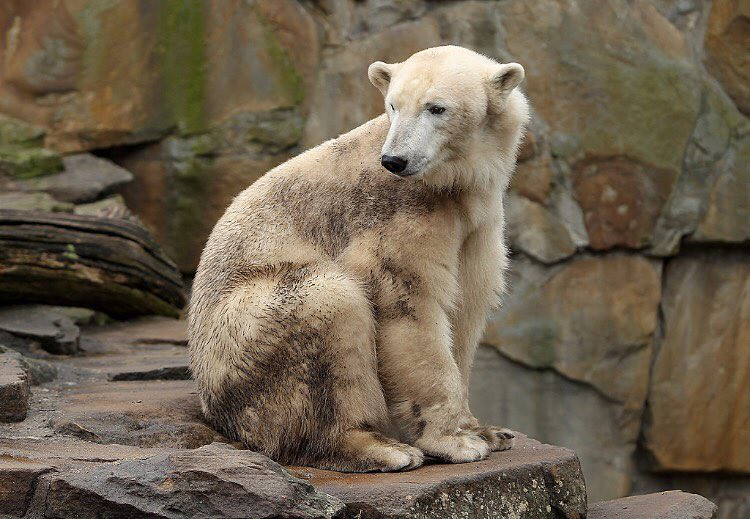 A grizzly–polar bear hybrid (also named grolar bear, pizzly bear) is a rare ursid hybrid that has occurred both in captivity and in the wild. In 2006, the occurrence of this hybrid in nature was confirmed by testing the DNA of a unique-looking bear that h