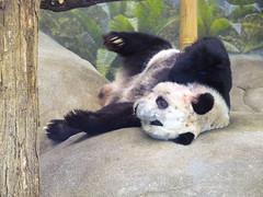 Memphis Zoo 08-31-2016- Giant Panda Ya Ya (Female) 1