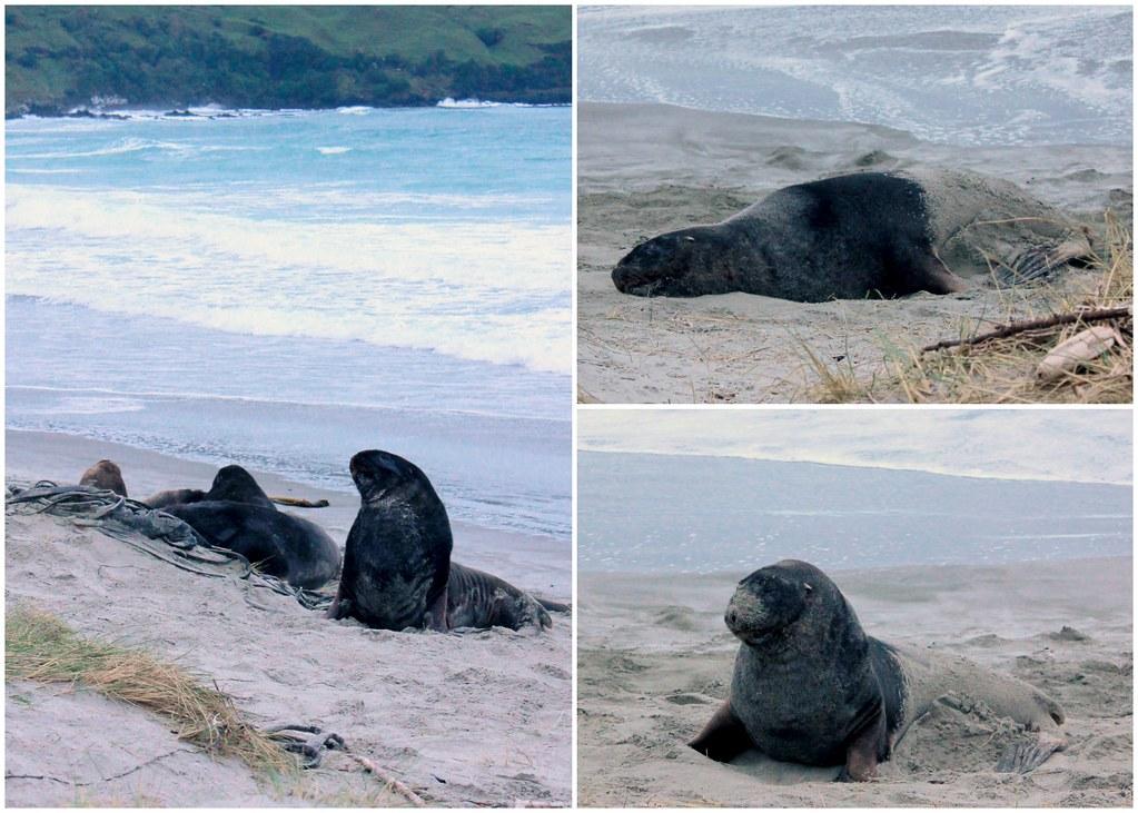 otago-peninsula-sea-lions