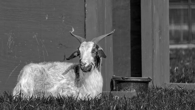 Biltmore Farmyard Goat (Biltmore Estate, Asheville NC)
