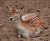 Fallow Deer, Washington Park Zoo - Michigan City, Indiana