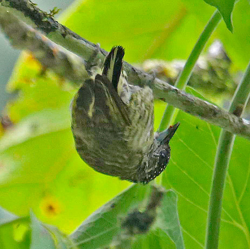 170302 2017 ecuador lafresnayes piculetold loja roadpicidaepiciformespiculetpicumnuspicumnus lafresnayi bird woodpecker
