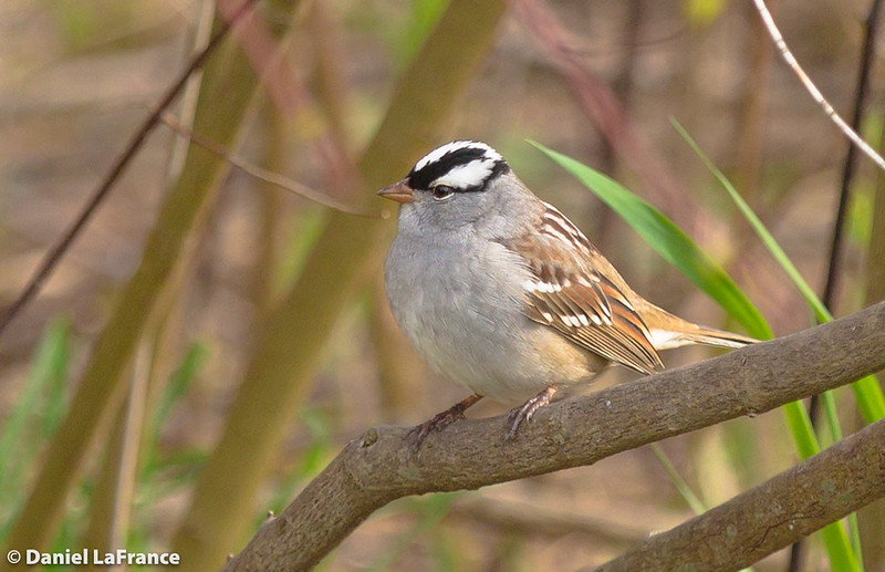 Whited-crowned Sparrow (DOL-A-5768)
