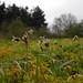 Field Woodrush - Luzula campestris