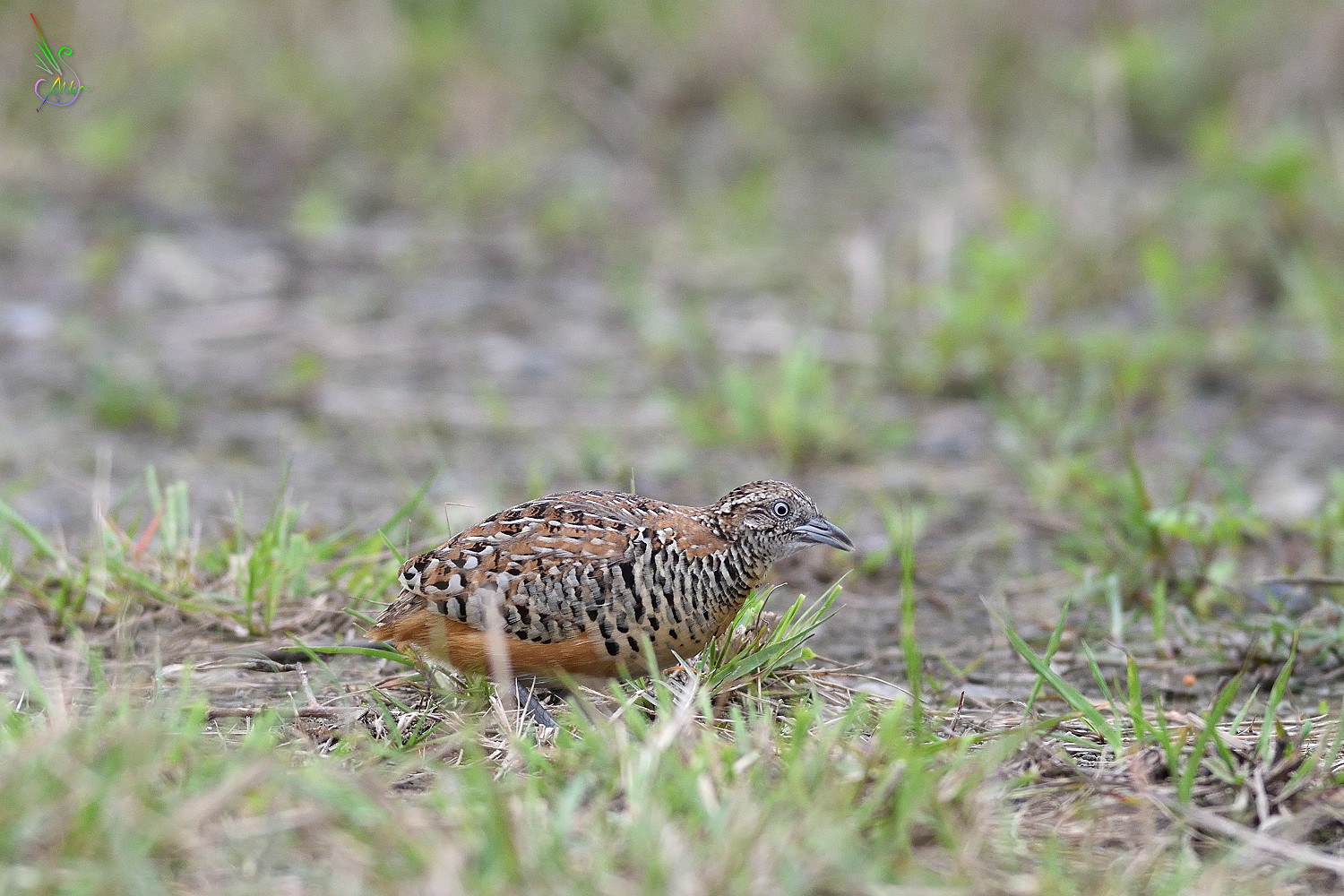 Barred_Buttonquail_8615