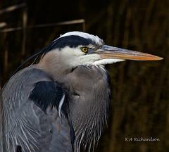 Great Blue Heron - 3