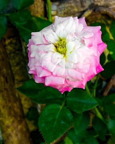 Flores por onde andei...do jardim de Mainha... #meuolharemfotos #edjss #ednelsonfotografia #fotografia #photography #natureza #flores #flowers #alagoas #flowersphotography #flowerphotography #foto  #photo #jardim #garden #gardenphotography #naturephotogra