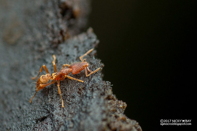 Ant (Strumigenys cf. godeffroyi) - DSC_2891