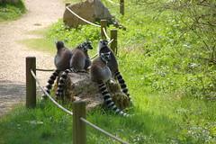 Groupe de lémuriens
