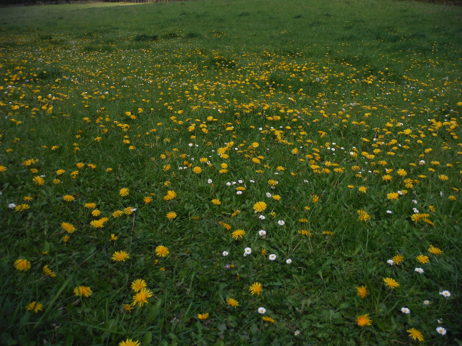 Dandelions in Flowers Bottom SWC Walk 10 - Little Kimble to Saunderton