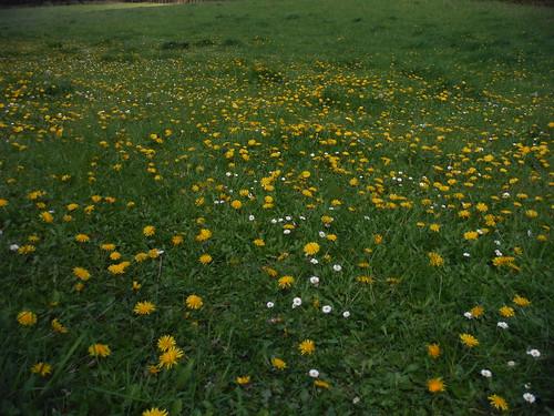 Dandelions in Flowers Bottom