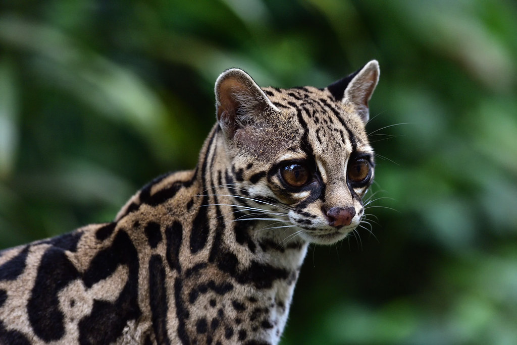 Margay wild cat