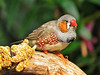 Disabled Zebra Finch