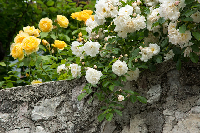 rose bush on stone wall