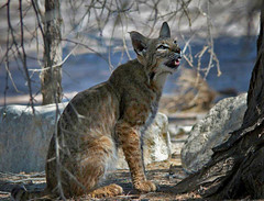 animal, small to medium-sized cats, pet, mammal, lynx, fauna, cat, wild cat, bobcat, wildlife,