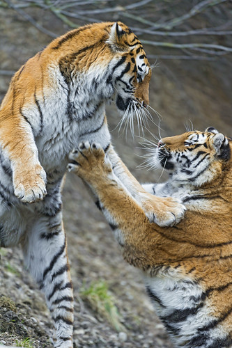 Mother against daughter! by Tambako the Jaguar