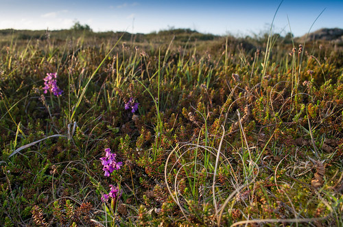 Harlekijn op 2 juni 2013 nog volop in bloei (foto: Mark Meijrink)
