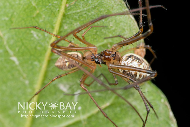 Big-Jawed Spiders (Tetragnathidae) - DSC_7222