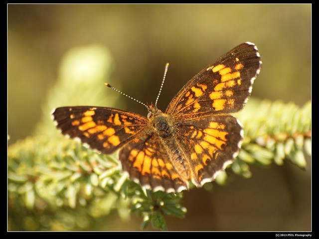 Pearl Crescent Butterfly (Phyciodes tharos)