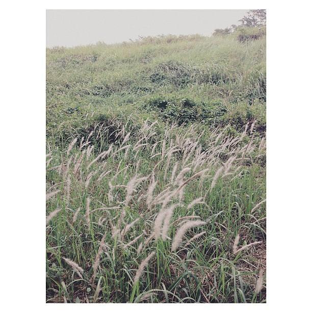 Silver grasses #squaready #vscocam