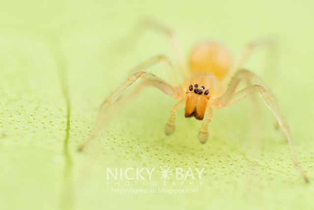 Long-Legged Sac Spider (Miturgidae) - DSC_9377