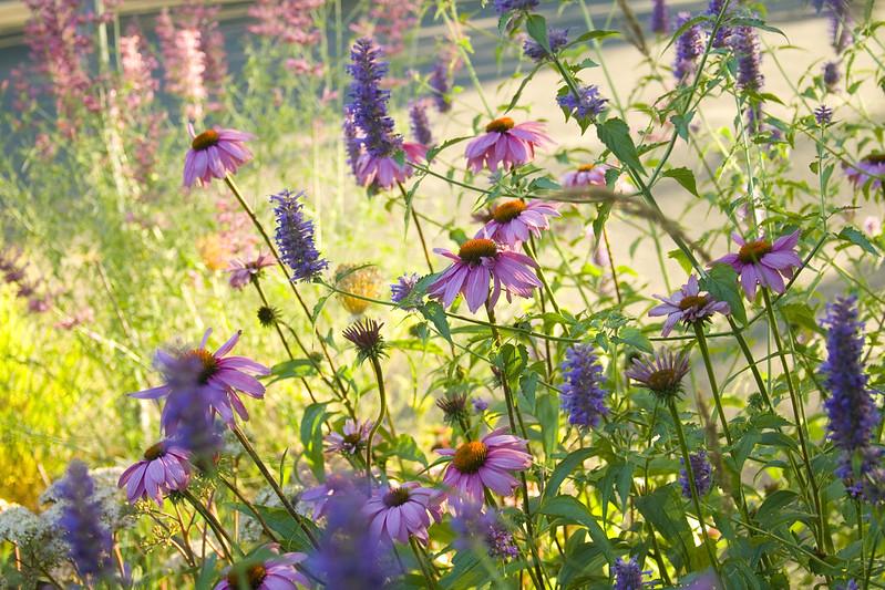 sunny echinacea