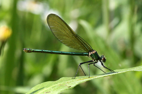 Banded Demoiselle Calopteryx splendens (f)