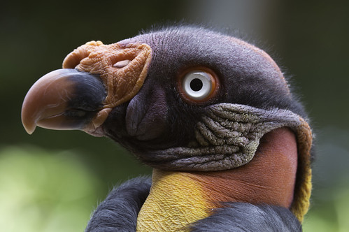 King Vulture (Sarcoramphus papa) by Paul E. Dyer