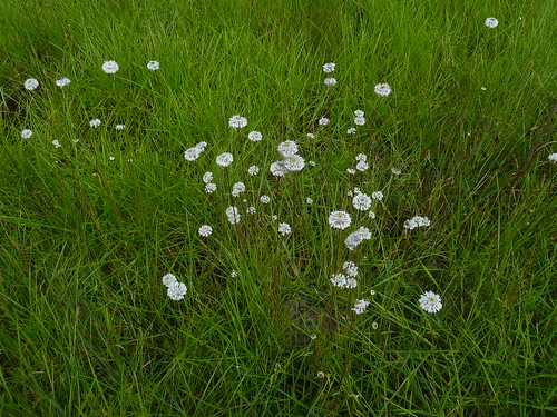august 65 barbarasbuttons marshalliatenuifolia