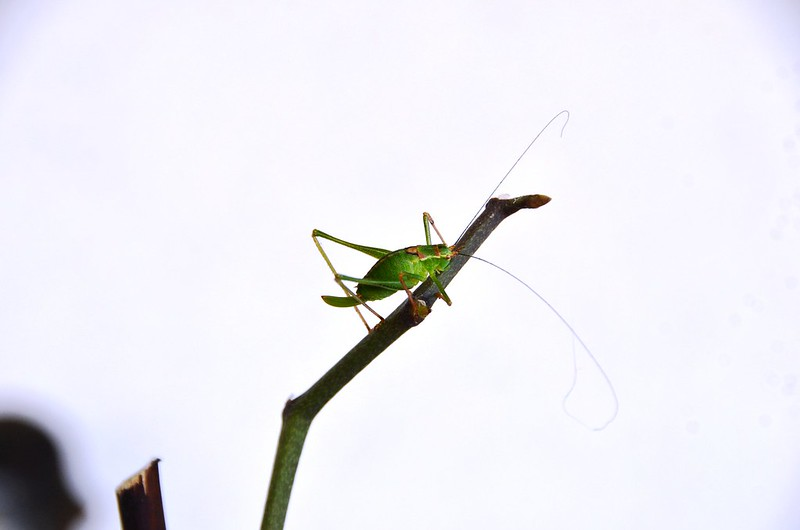 Grasshopper on the orchid