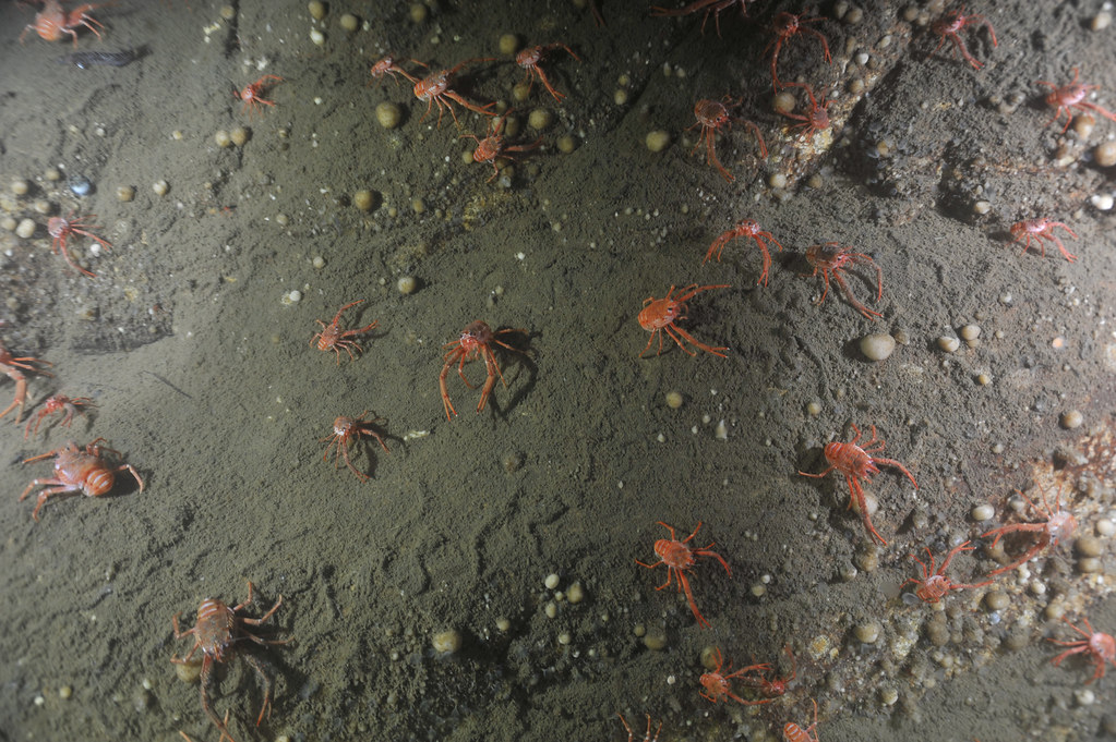 A colony of squat lobsters (Munida quadrispina) in Saanich Inlet captured on camera during the VENUS cruise in the fall 2011 at 96m.