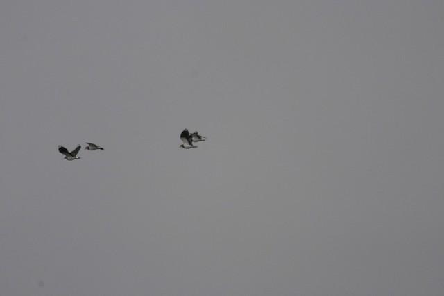 最後は水田地帯でタゲリを観察した.
