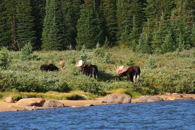 Bull Moose trio