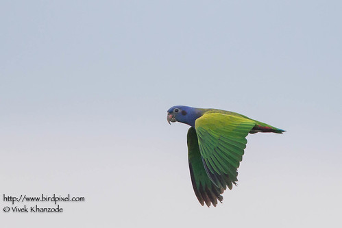 Blue-crowned-Parrot