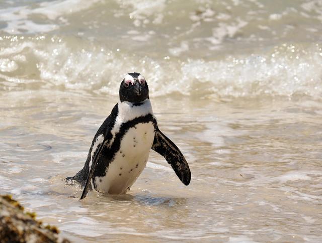 African Penguin, Spheniscus demersus, CapeTown, Dec 2010