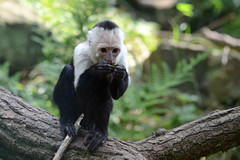 animal, monkey, mammal, capuchin monkey, fauna, spider monkey, white-headed capuchin, common chimpanzee, new world monkey, wildlife,