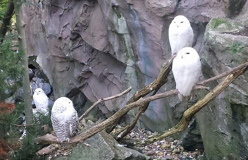 2013/10/07 - 11:18 - シロフクロウ Snowy Owl