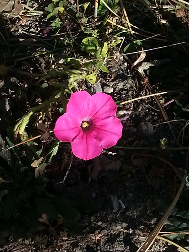 Perennial Pink flower