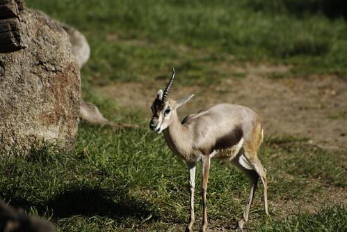 A uni-gazelle