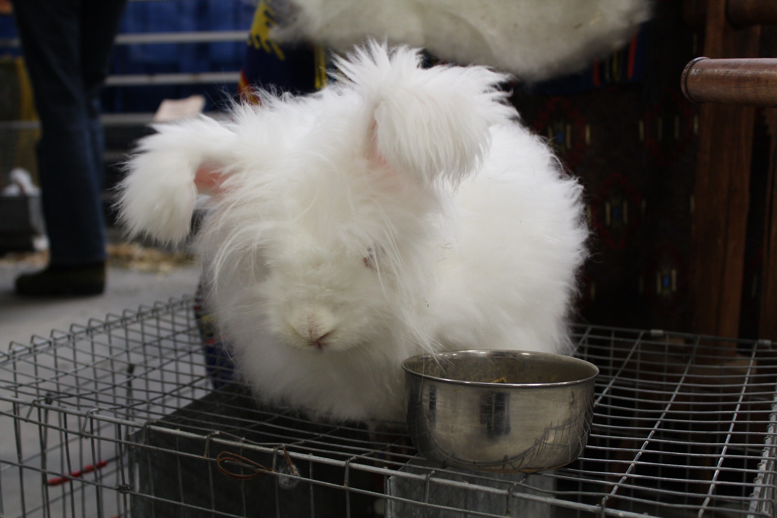 German Angora, Rabbit, Fiber, NEFF