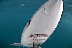 僥倖逃離延繩釣鉤的鋸峰齒鮫(Blue Shark)(攝影:Terry Goss)
