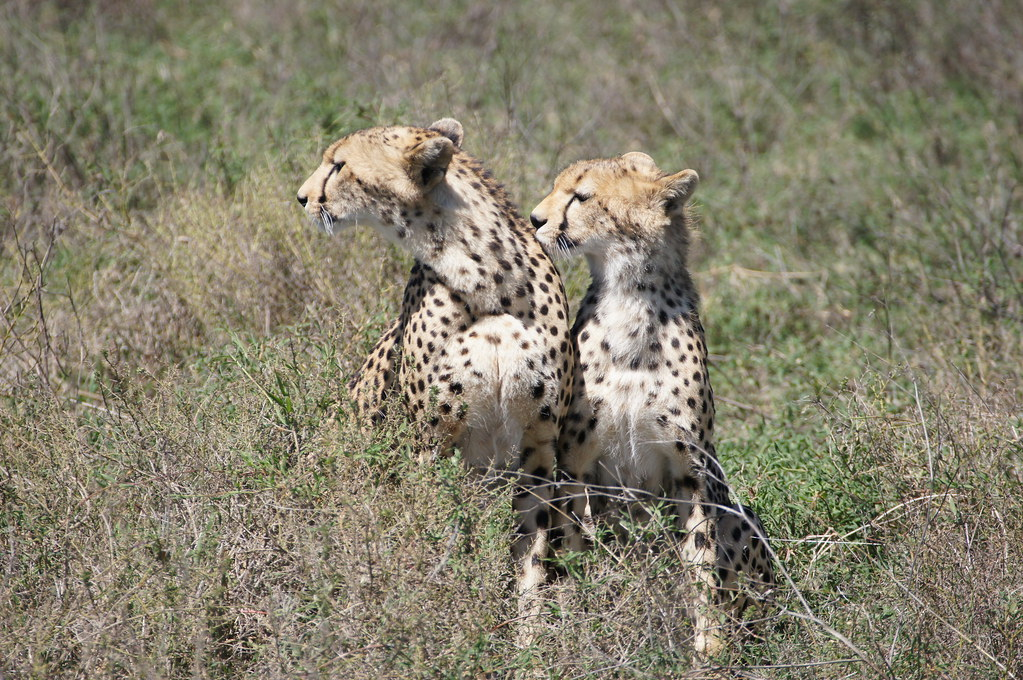Wildlife Wednesday: Cheetahs