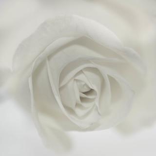 Rose (Explore)